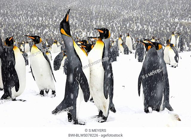 king penguin Aptenodytes patagonicus, colony in the snow, Antarctica, Suedgeorgien