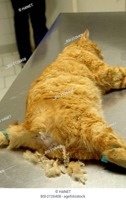 Photo essay. Male European red cat, 1 year and 3 months old under anesthesia. This cat will be castrated ablation of the testicles or orchiectomy