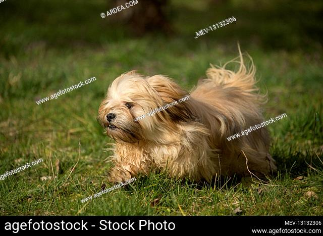 Lhasa Apso dog outdoors running in the garden