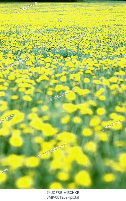 Meadow with blooming dandelion, blurred