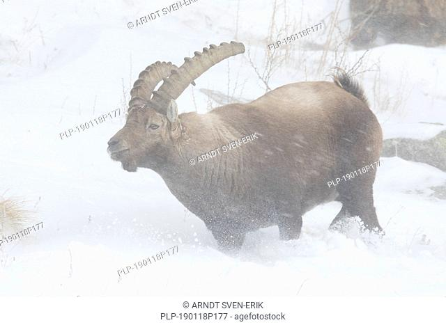 Alpine ibex (Capra ibex) male foraging in the snow during snowstorm on mountain slope in winter in the European Alps