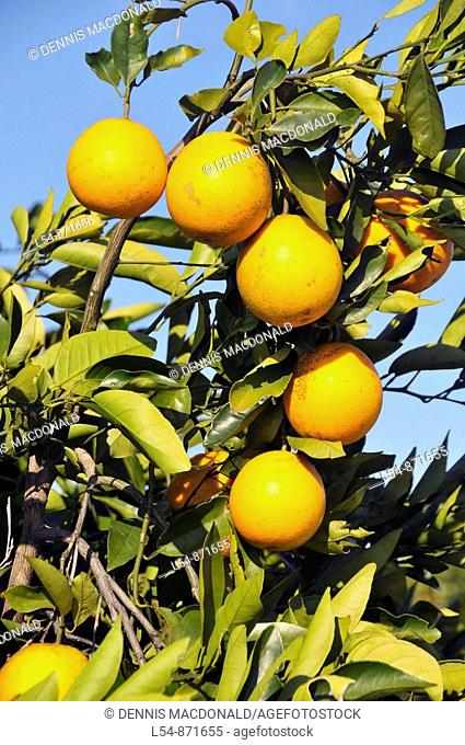 Orange trees Lake Wales Florida US
