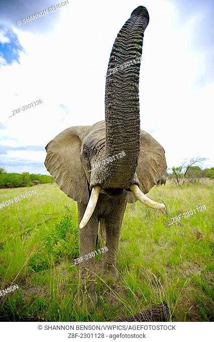 African Elephants (Loxodonta africana), Waterberg, South Africa