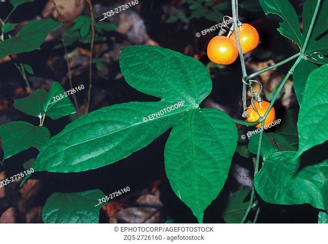 Adenia Hondala Family: Passifloraceae. A small perennial climber with a large tuberous rootstock