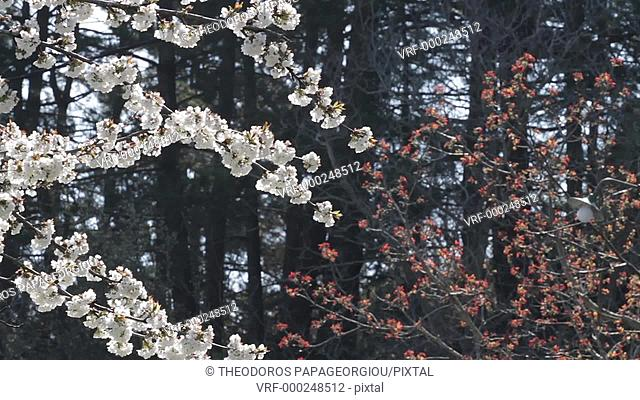 Spring bloom at Tegea, Arcadia, Peloponnese, Greece