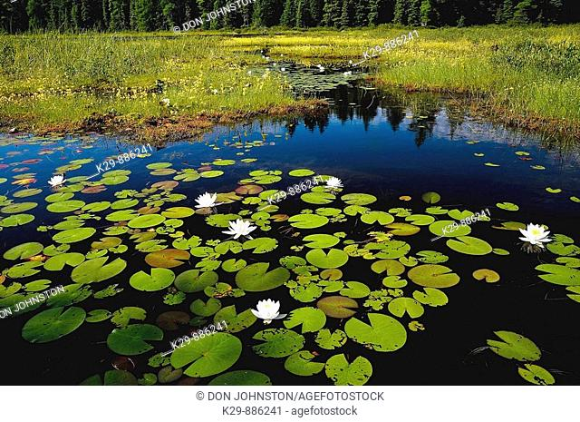 Boreal bog with flowering bladderwort and fragrant white water lilies