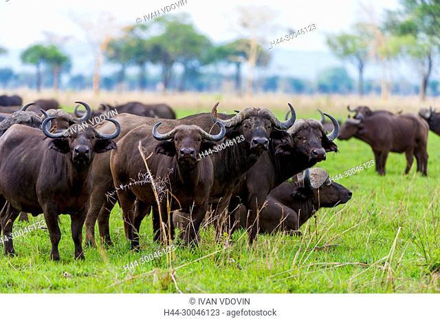 African Buffalo, Syncerus caffer, Tanzania, East Africa