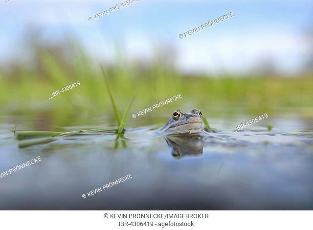 Moor frog (Rana arvalis), blue coloured male during mating season, in spawning waters, Elbe, Saxony-Anhalt, Germany