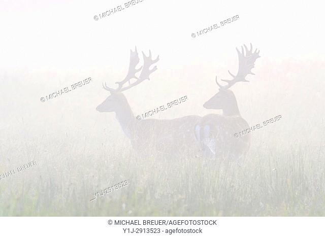Fallow Deers (Cervus dama) on misty morning, Summer, Hesse, Germany, Europe