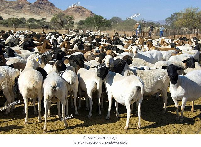 Herd of Domestic Sheep, Namibia