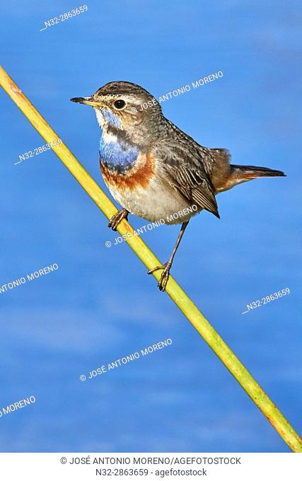 Bluethroat (Luscinia svecica), Pechiazul, Malaga, Andalusia, Spain