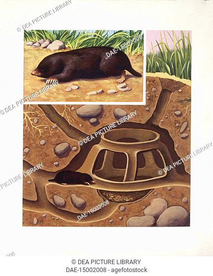 Zoology - Insectivora - European Mole (Talpa europaea). Design and section of the hole