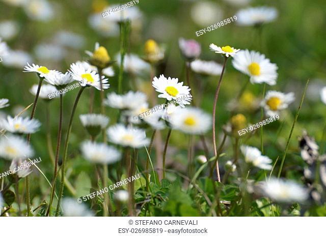 flower daisies