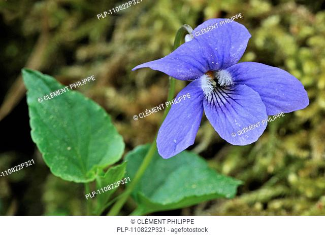 Wood violet / Common dog violet Viola riviniana in flower, Luxembourg