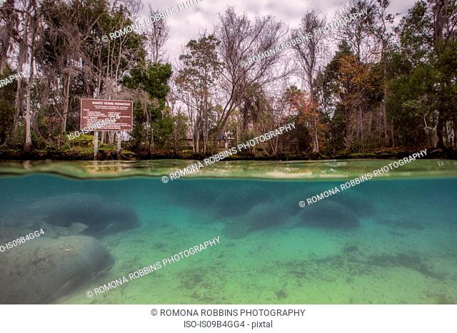 Manatee in the three sisters spring, Crystal river, Florida, USA
