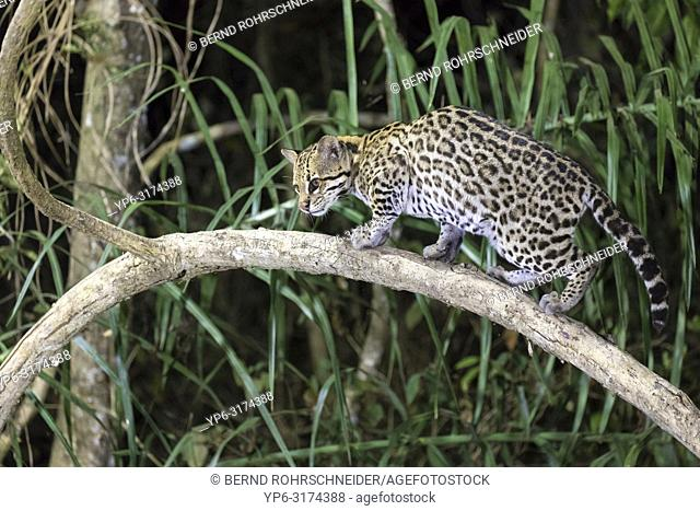 Ocelot (Leopardus pardalis), adult climbing on tree at night, Pantanal, Mato Grosso, Brazil