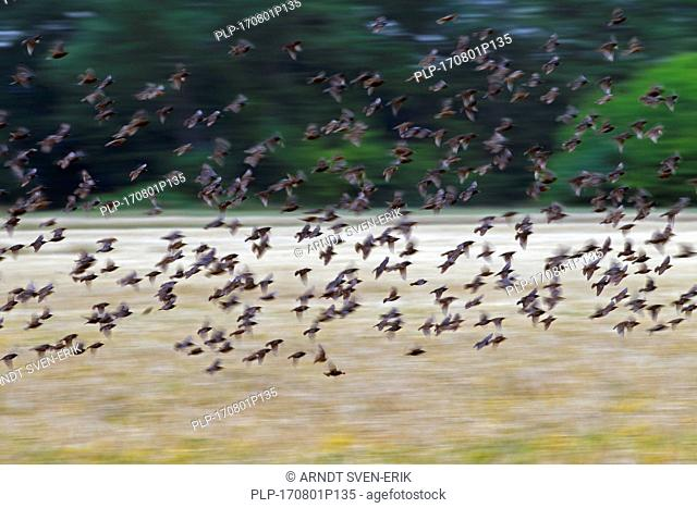 European starling murmuration / large flock of common starlings (Sturnus vulgaris) in flight over field in summer