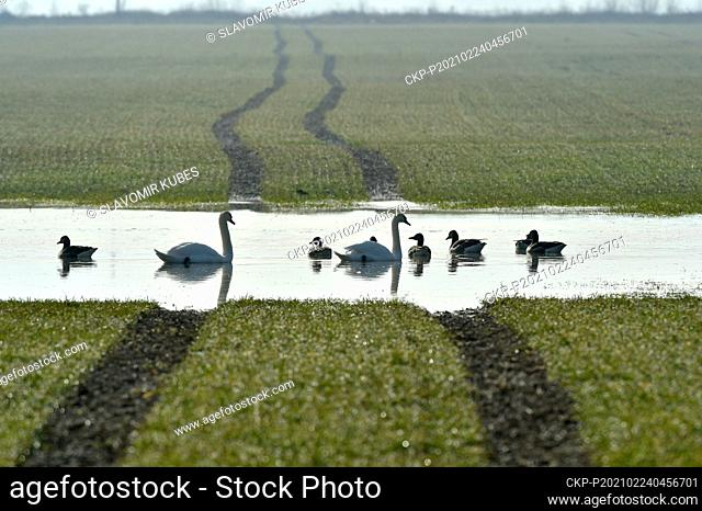 Melting snow has created large areas of water in fields around Cheb, Czech Republic, which attract flocks of water birds