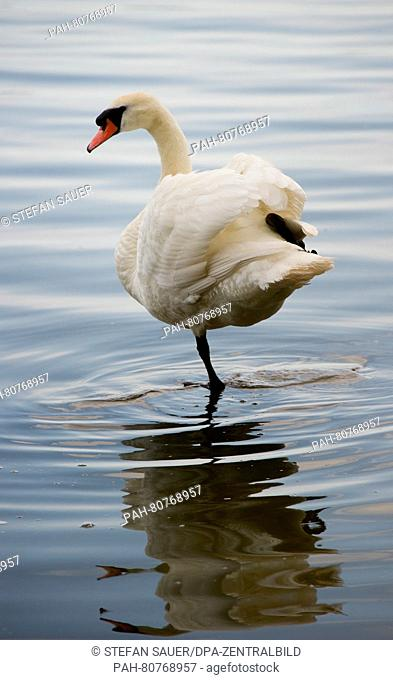 A swan stands on one leg in Peenestrom near Wolgast, Germany, 27 May 2016. Photo: Stefan Sauer/ZB | usage worldwide. - Wolgast/Mecklenburg-Western...