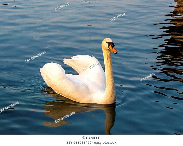 White swan swimming on a clear lake