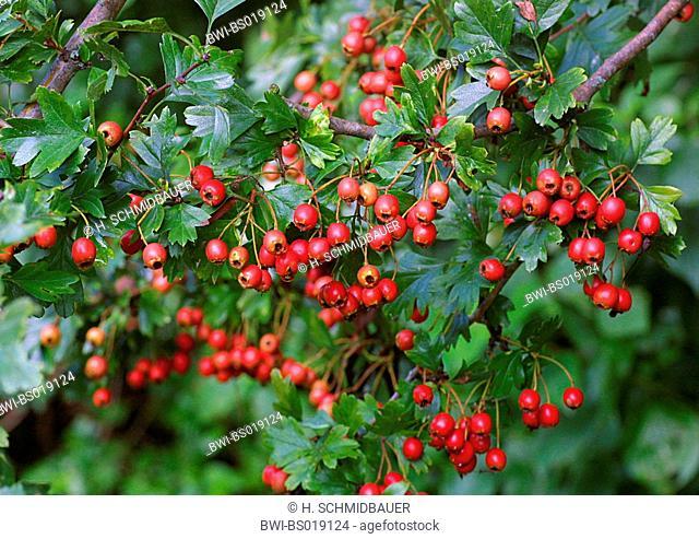 common hawthorn, singleseed hawthorn, English hawthorn (Crataegus monogyna), twig with mature fruits