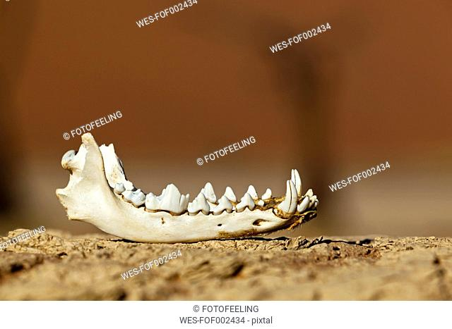 Africa, Namibia, Namib Naukluft National Park, Lower jaw of a Jackal in the namib desert