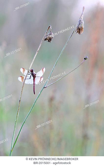 Banded darter (Sympetrum pedemontanum), male, Brandenburg, Germany, Europe