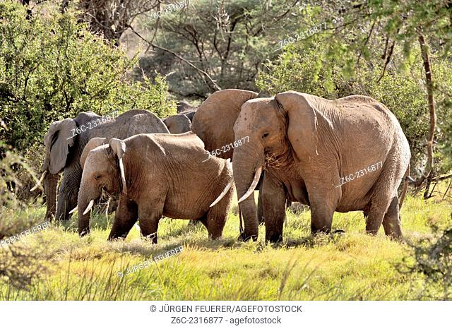 Family of elephants, group of elephants, Loxodonta africana, between green trees, Kenya