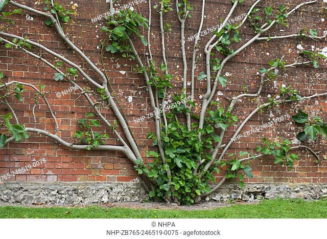 Fig Tree (Ficus caria). Growing in an estate walled garden. Several trunks from a single root stock, trained into a fan growth formation against a long and...