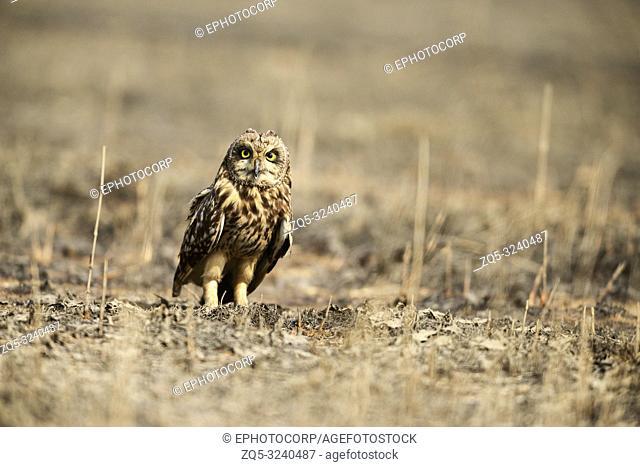 Short eared owl, Asio flammeus Uran, Mumbai, Maharashtra, India