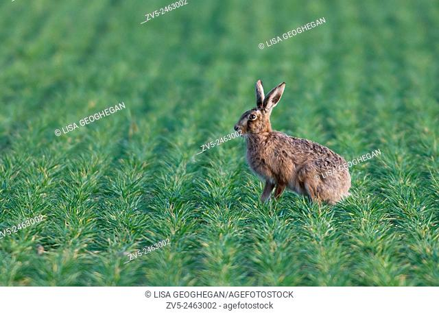 European Brown (Common) Hare- Lepus europaeus, Spring. Uk