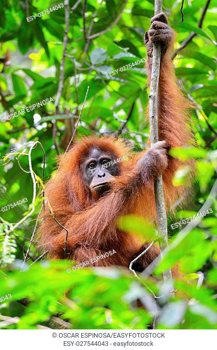 Orangutan in the jungle in Bukit Lawang, Sumatra, Indonesia