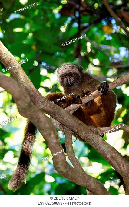 female of white-headed lemur (Eulemur albifrons) on branch in Madagascar rainforest. Nosy Mangabe forest reserve. Madagascar wildlife and wilderness