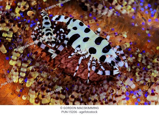 A pair of Coleman's shrimps Periclimenes colemani have cleared space and set up home between the toxic spines of a fire urchin Asthenosoma varium The larger...