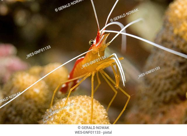 Egypt, Red Sea, Cleaner shrimp Lysmata amboinesis, close-up