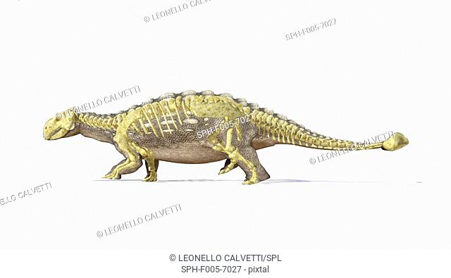 Ankylosaur skeleton, computer artwork. This heavily-armoured dinosaur lived in the early Mesozoic era, in the Jurassic and Cretaceous periods