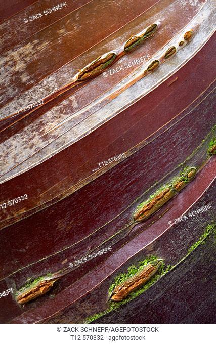 Birch bark cherry in Washington Park. Oregon. USA