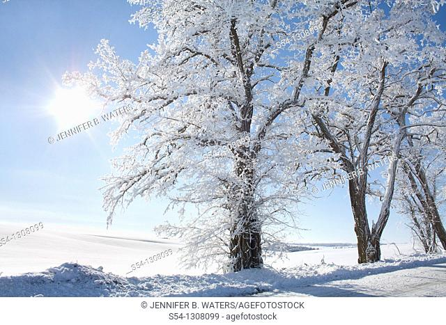 Locust trees in the Palouse in winter, Washington State, USA
