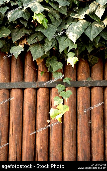 Green leaves grow down a brown wooden background
