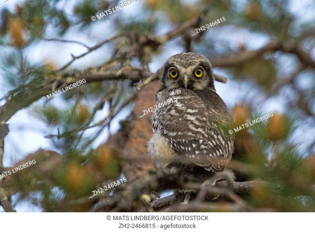 Juvenile Northern Hawk-owl, Surnia ulula, sitting in a pine tree turning his head 180 degrees towards camera, Gällivare, Swedish Lapland, Sweden