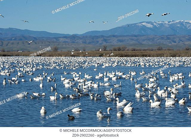 Migratory snow geese at the Sacramento National Wildlife Refuge