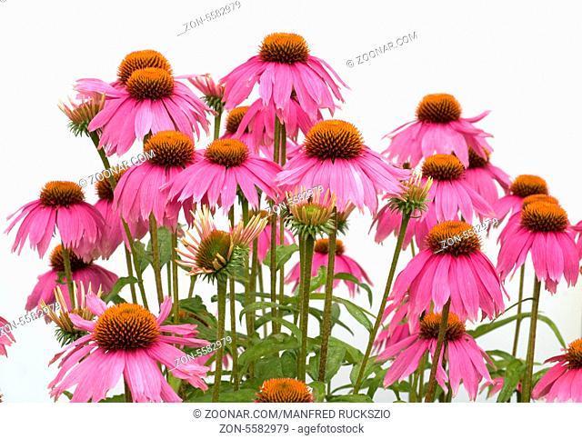 Roter Sonnenhut, Echinacea, purpurea, -