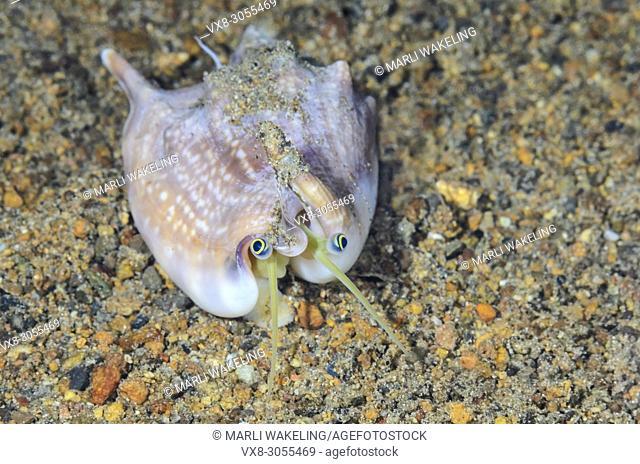 Vomer conch, Euprotomus vomer, Anilao, Batangas, Philippines, Pacific