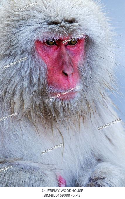 Close up of fur and red face of monkey