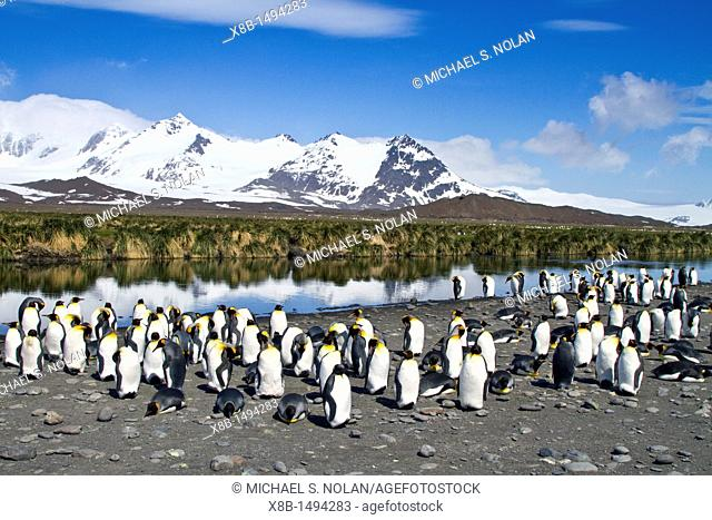 King penguin Aptenodytes patagonicus breeding and nesting colony on South Georgia Island, Southern Ocean  MORE INFO The king penguin is the second largest...