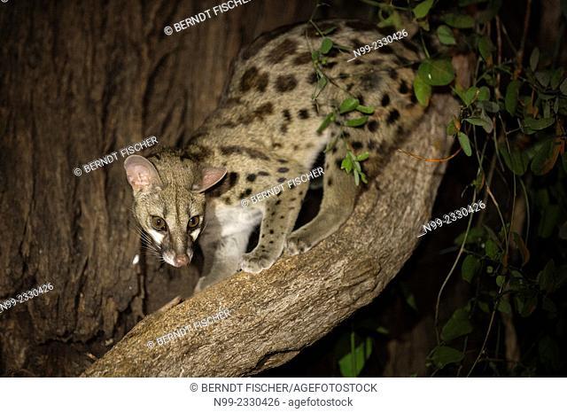 Genet cat (Genetta maculata), Samburu National Reserve, Kenya