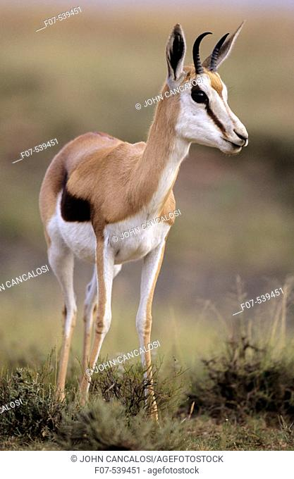 Impala (Aepyceros melampus) - South Africa - Medium-size gazelle-like anteope - Distribution in south and southeastern Africa - Require high-quality fodder...