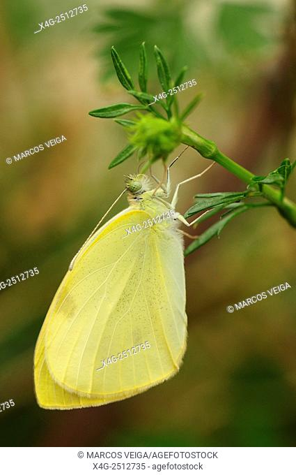 Small White butterfly (Pieris rapae) pending undercover