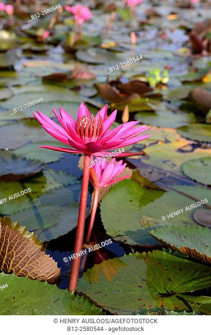 Red Indian water lily, open flower (Nymphaea pubescens), Tale Noi, Patthalung, Thailand