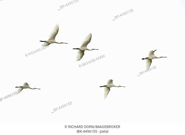 Flock of flying common spoonbills (Platalea leucorodia), Texel, West Frisian Islands, Province of North Holland, The Netherlands